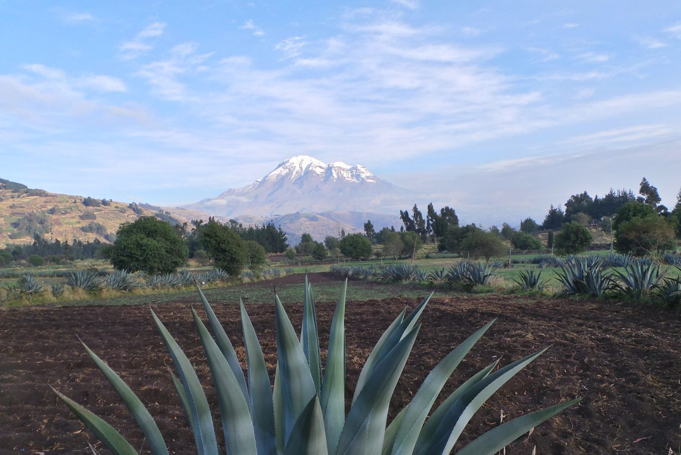 Agave tree standing in front of Chimborazo volcano