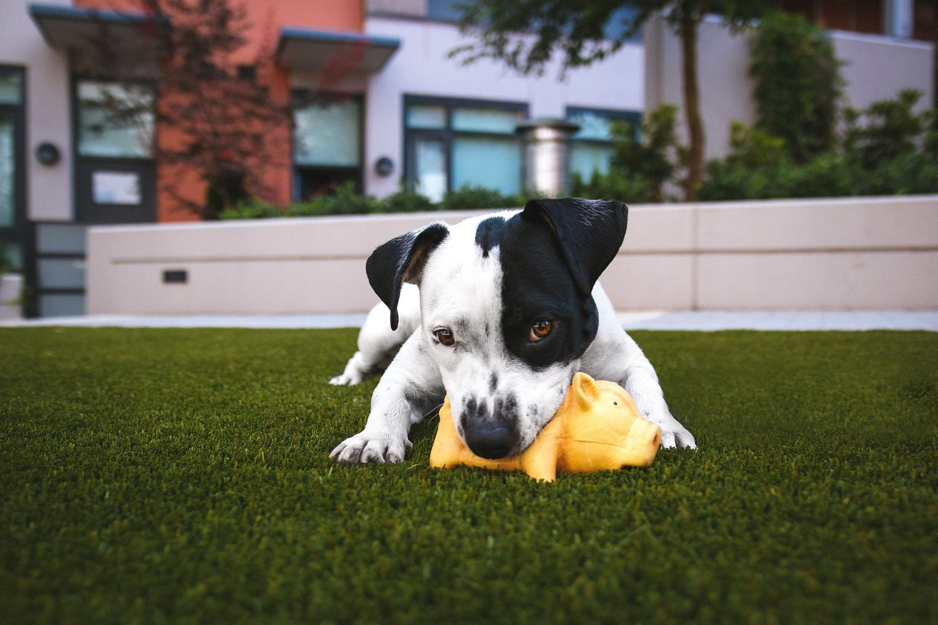 Black and white puppy eating a yellow toy in a garden
