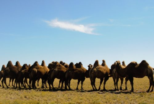 Herd of camels on a dry grass