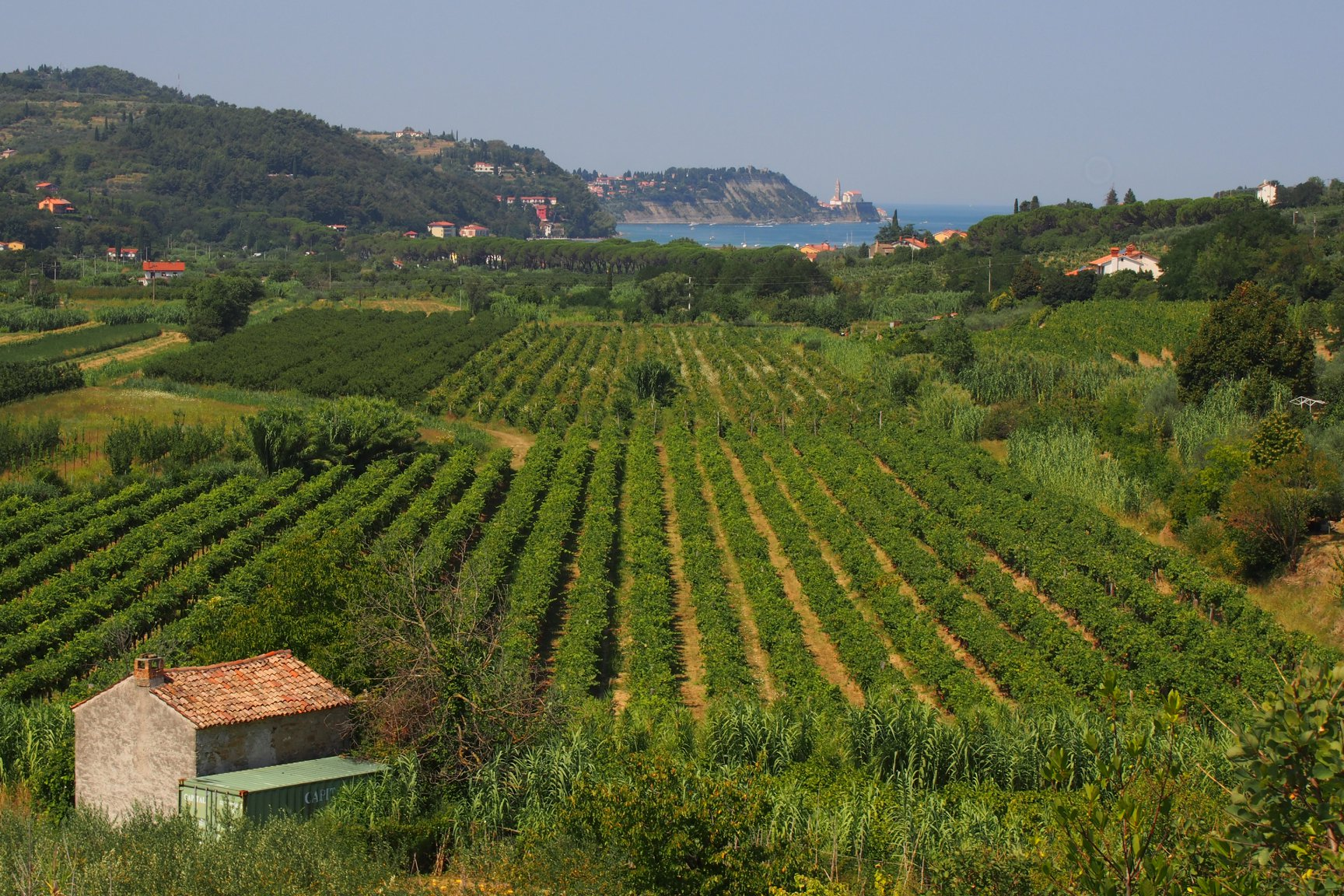 Vineyards on the coast of Slovenia